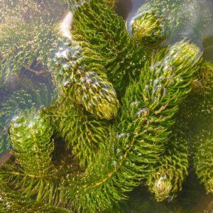 Ceratophyllum (érdes tócsagaz)