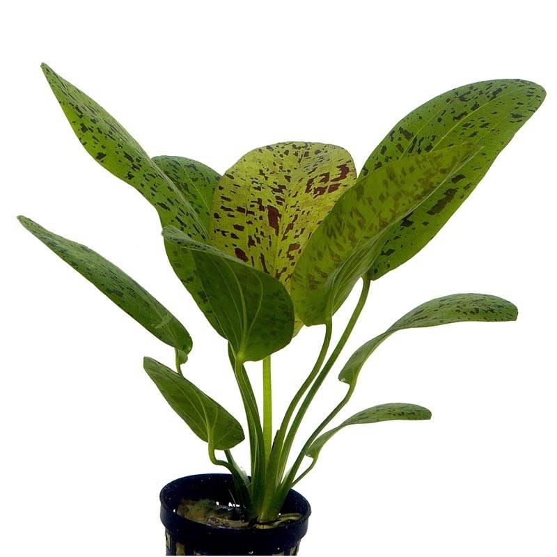 Echinodorus Ozelot akváriumi növény