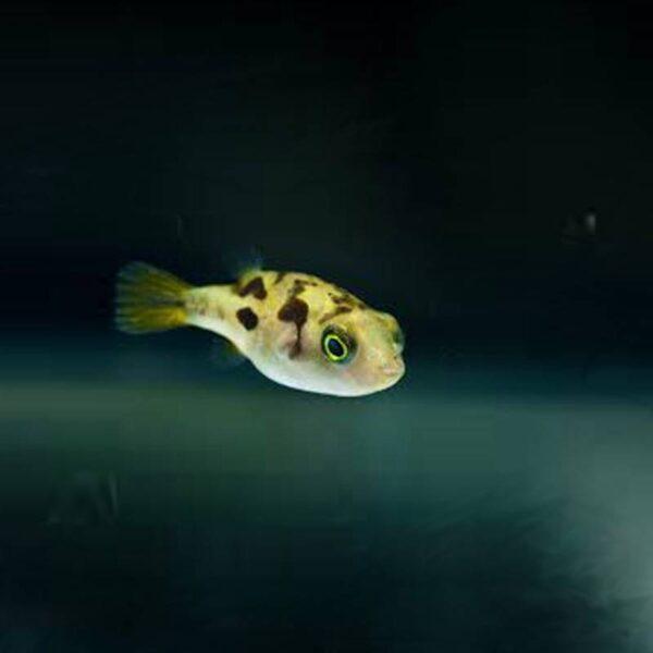 Édesvizi törpe gömbhal akváriumi hal