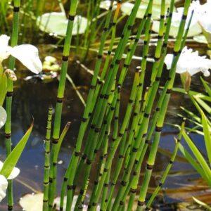 Equisetum japonicum japán zsurló