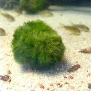 Gömbmoha akváriumi növény