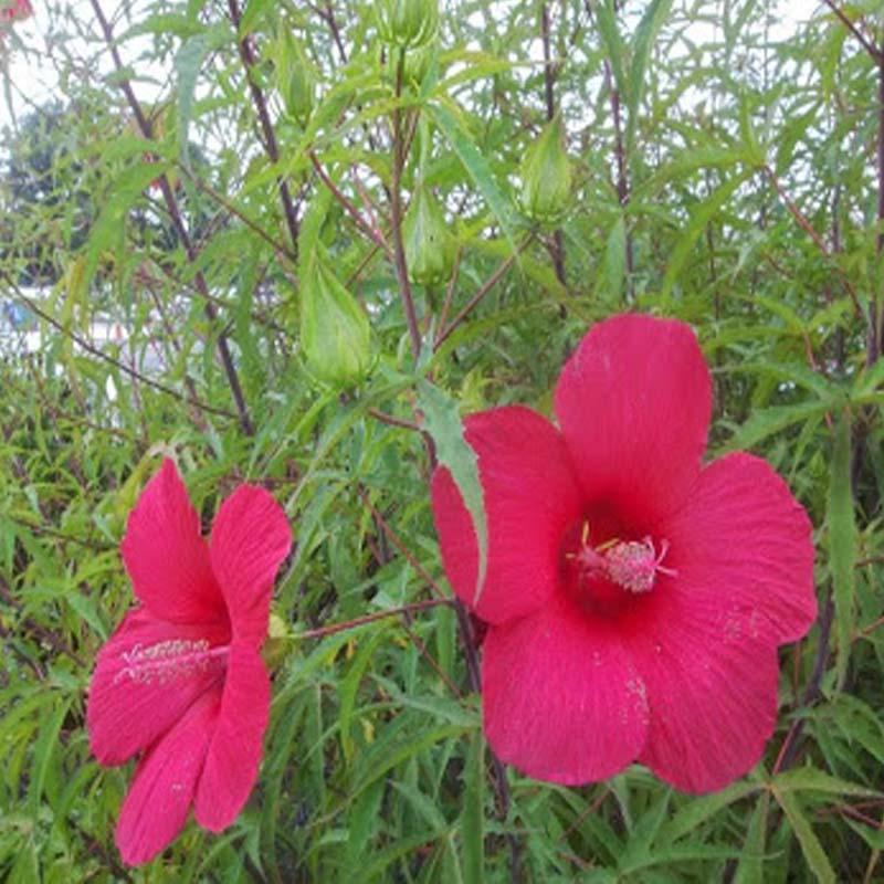 Hibiscus palustris mocsári hibiskus