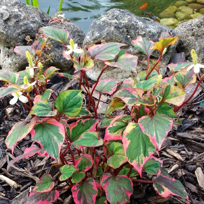 Houttuynia cordata Chamaeleon kaméleon virág