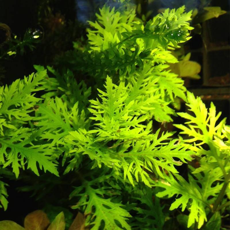Akváriumi növény hygrophila