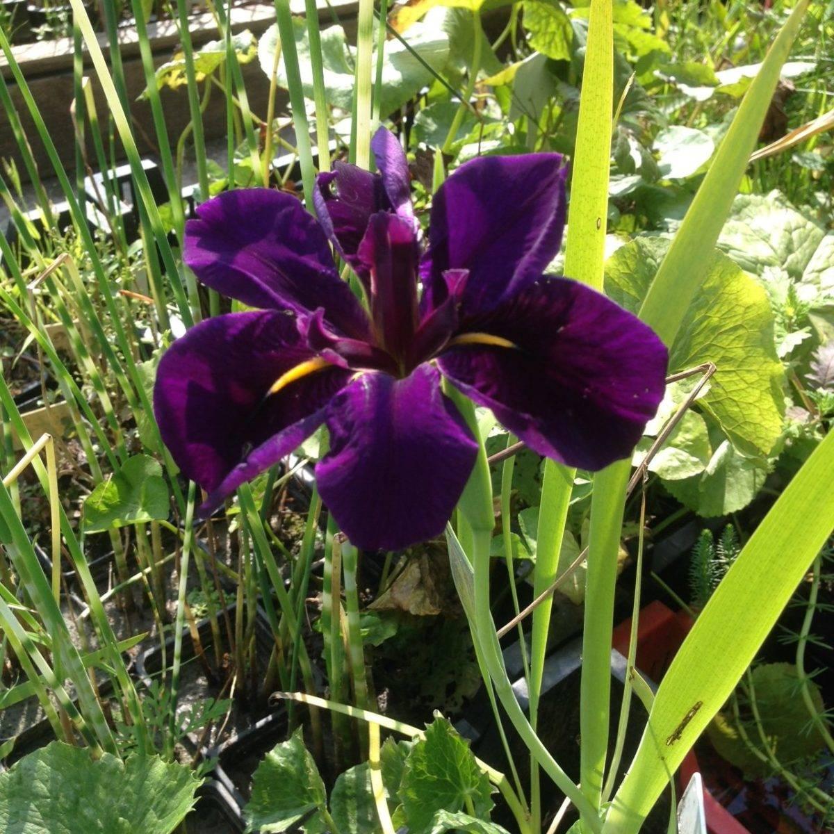 "Iris louisiana ""Black Gamecock"""