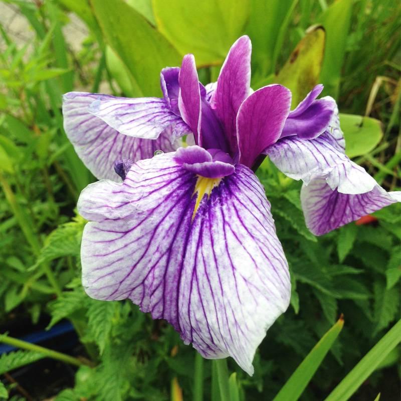 Iris kaempfery mocsári írisz
