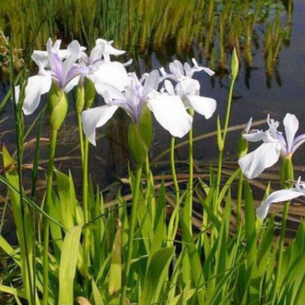 Iris Laevigata snowdrift Japán írisz