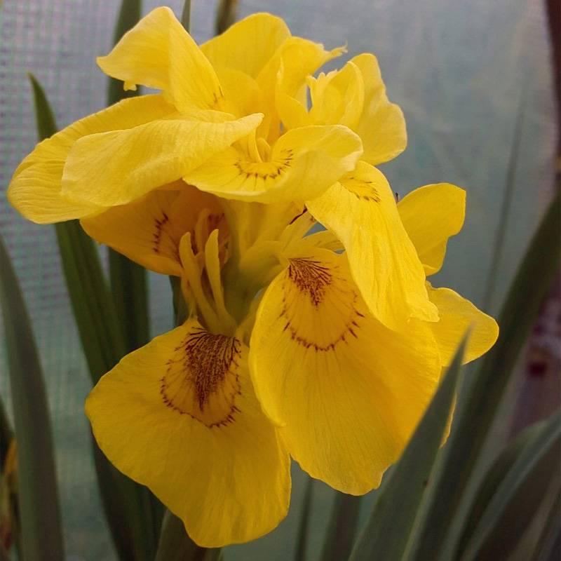 Iris pseudacorus flore pleno