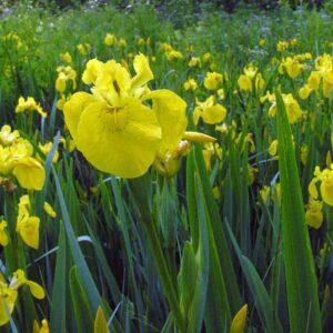 Iris pseudocorus (mocsári nőszirom)