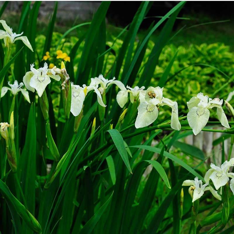 Iris pseudocorus Creme de la Creme