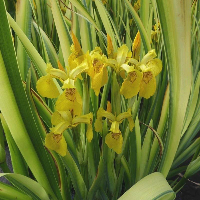 Iris pseudocorus variegata csíkos levelű mocsári nőszirom