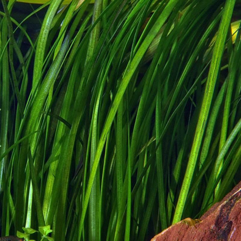 Közönséges Valiznéria ( Vallisneria Spiralis )