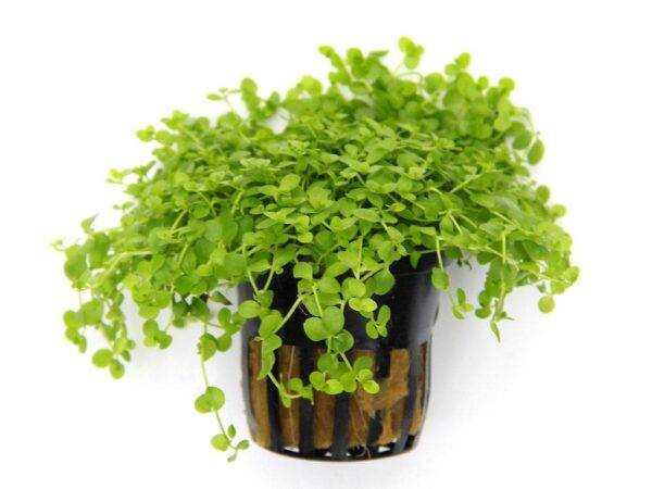 Micranthemum spec. Monte carlo