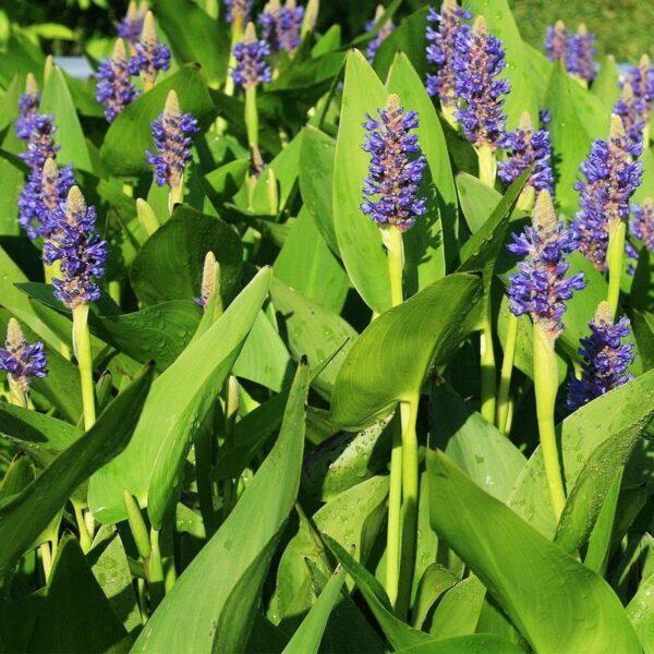 Pontederia Lanceolata Tömött sellővirág