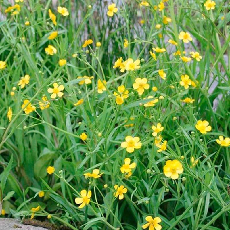 Ranunculus flammula békaboglárka