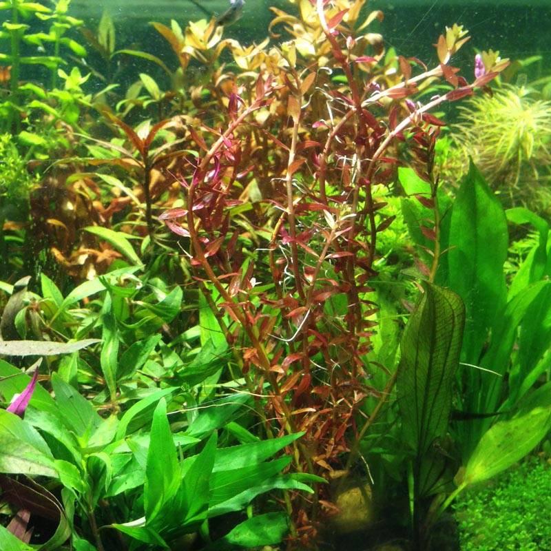 Rotala rotundifolia akváriumi növény