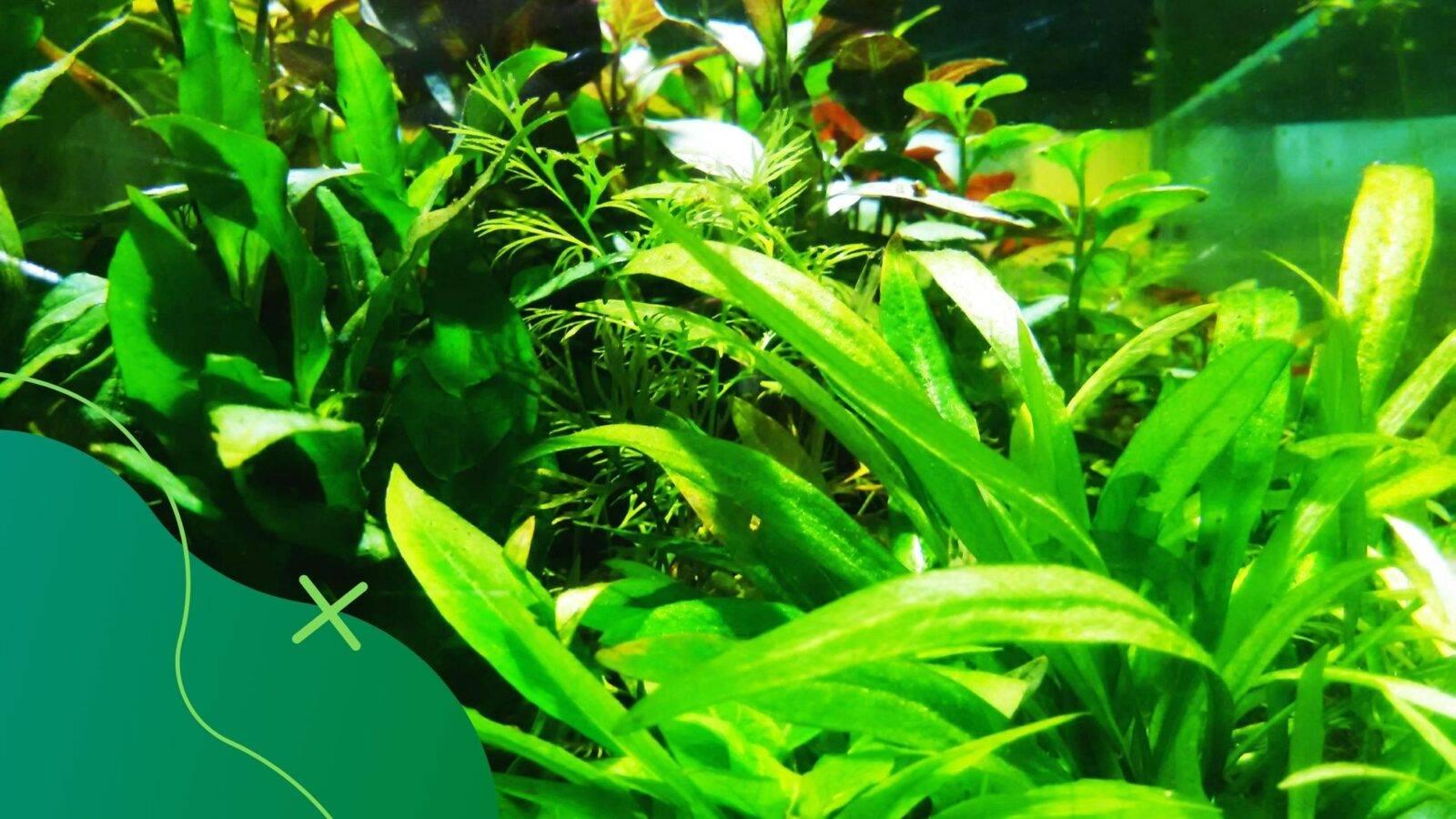 algák az akváriumban