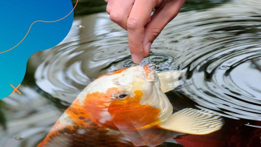 Mivel etessük kerti tavi halainkat