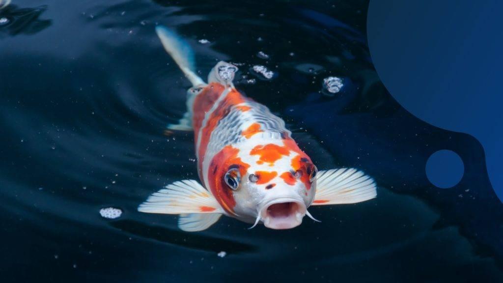 pipálnak a halak