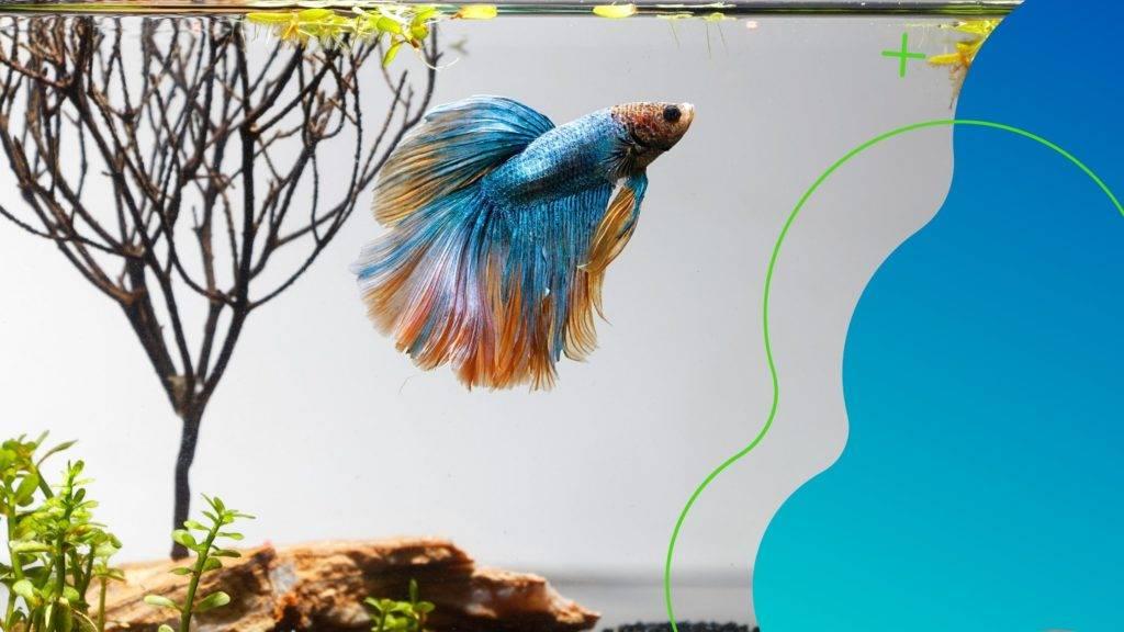 Összetehetem-e a bettát más halakkal?