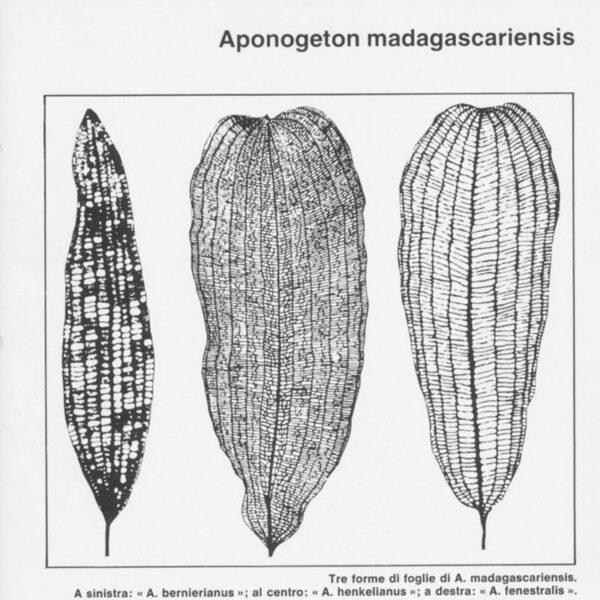 Aponogeton madagacariensis fajok
