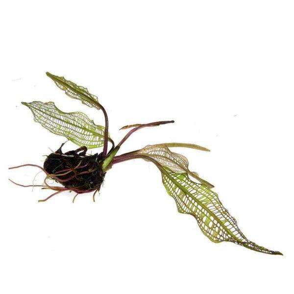 aponogeto henkellianus akváriumi növény