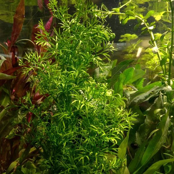Akváriumi növény