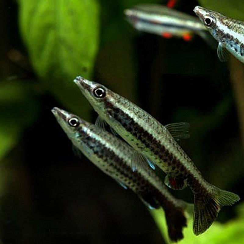 lovacskalazac, Nannostomus eques félénk természetű akváriumi díszhal, csapathal