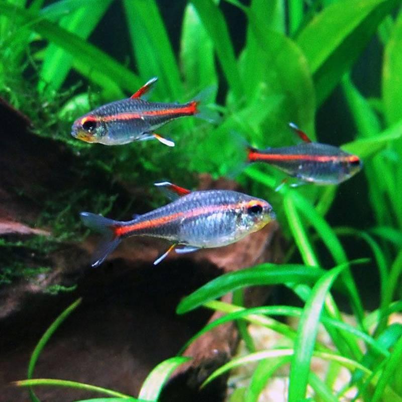 Izzófényű pontylazac (Hemigrammus erythrozonus) akváriumi hal
