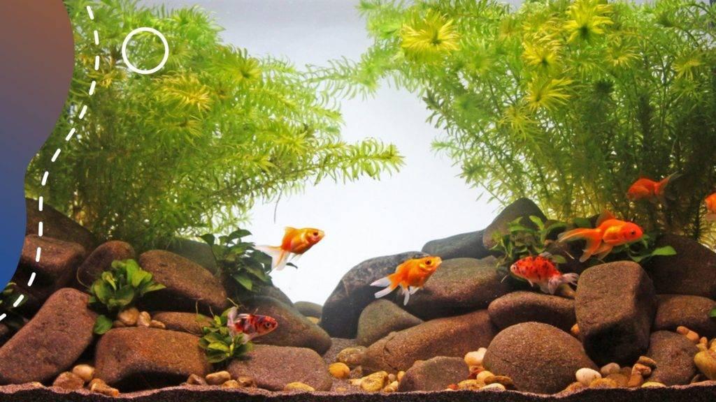 aranyhal az akváriumban