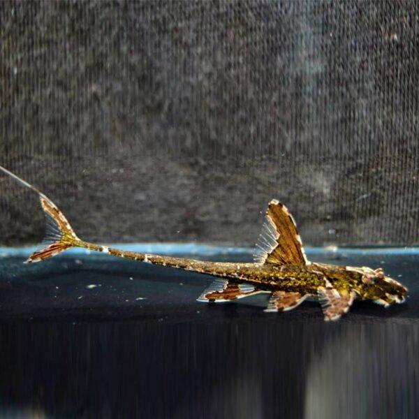 Loricaria akváriumi algaevő díszhal