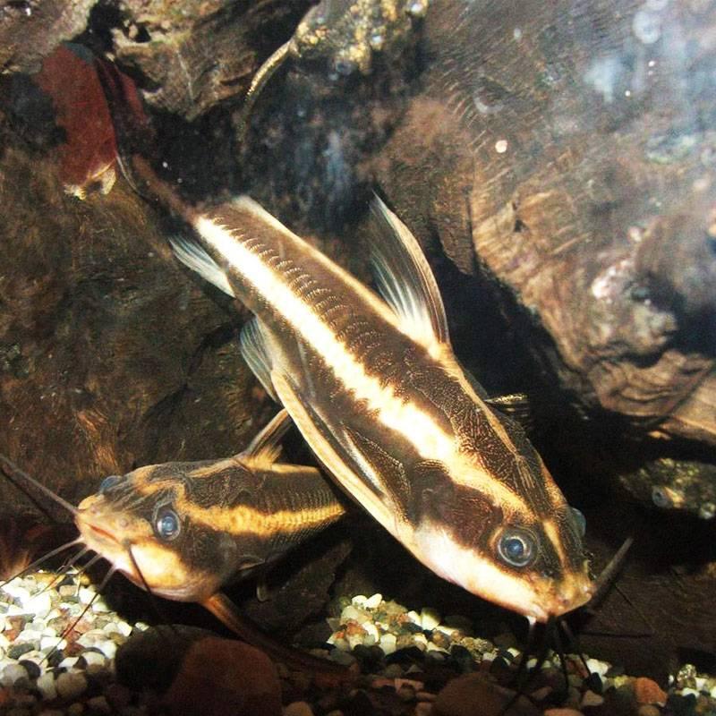 Csíkos morgó harcsa kaváriumi hal