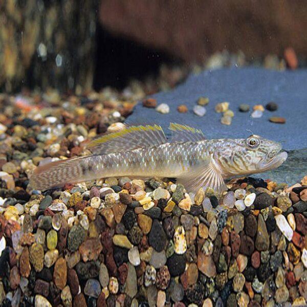 Algázó gáb algaevő akváriumi hal