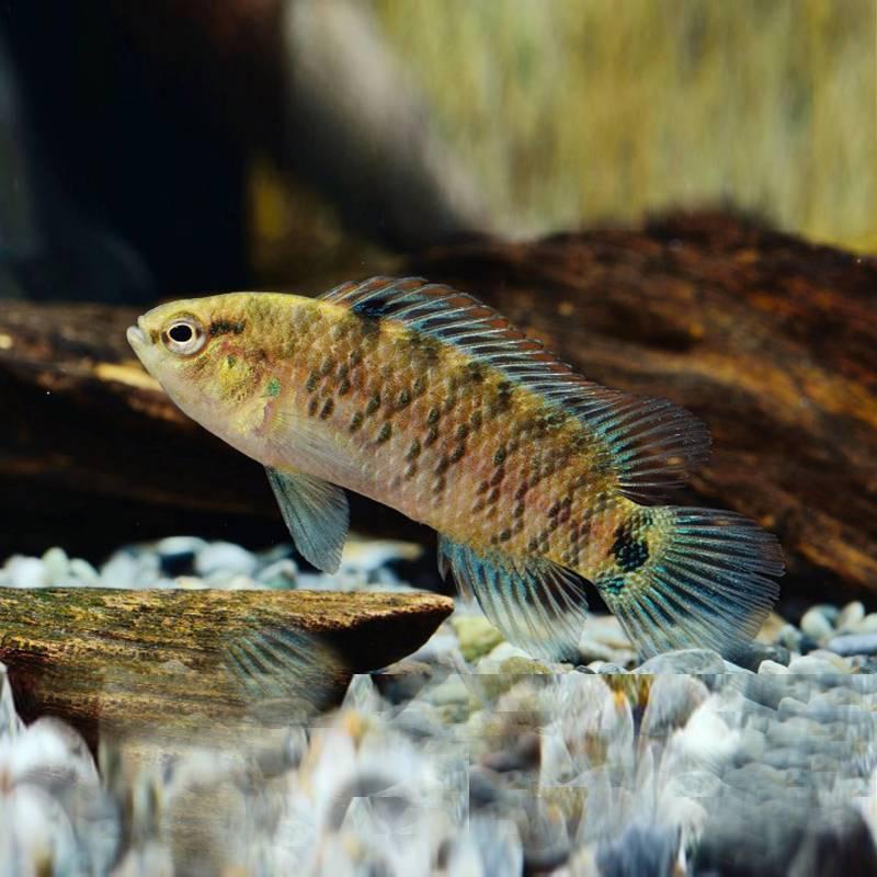 badis Badis kéksügér akváriumi hal