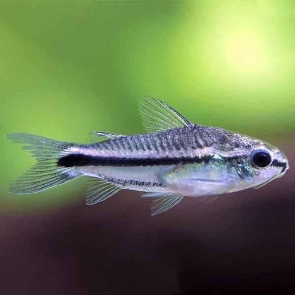 Corydoras pygmeus törpe pácélosharcsa akváriumi hal