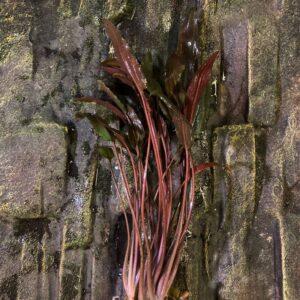 Nagy cryptocorine akváriumi növény