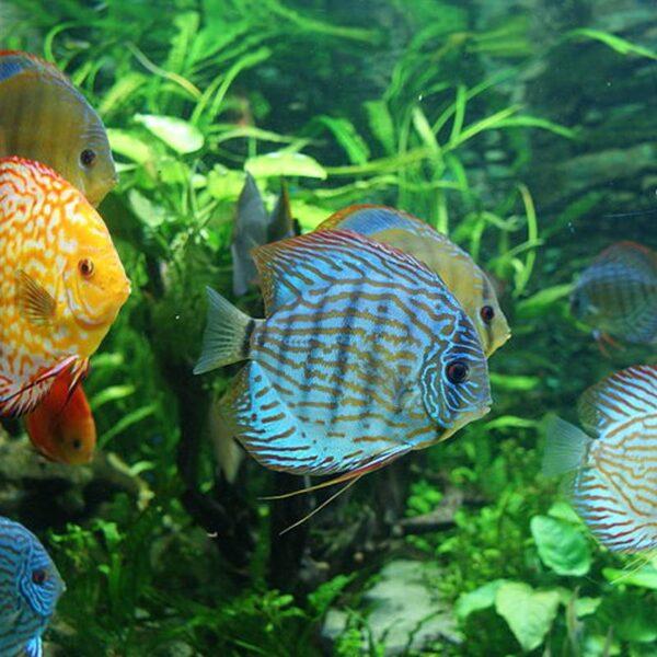 Diszkoszhal Symphysodon aequifasciatus akváriumi hal