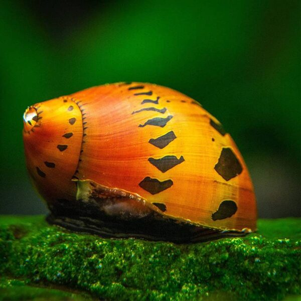 Hagyma csiga alga evő csiga