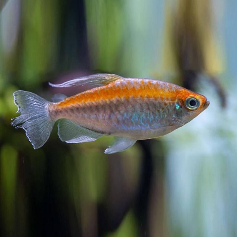 Kongó lazac akváriumi hal
