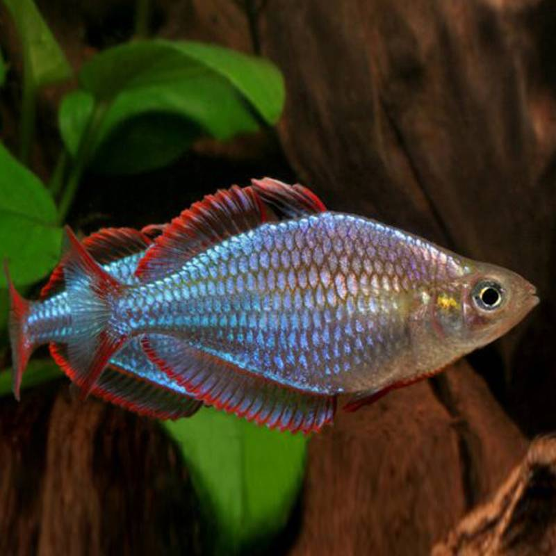 Neon kalászhal akváriumi hal