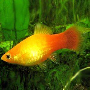 platti elevenszülő akváriumi hal