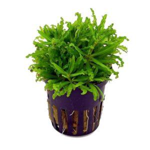Pogostemon helferi akváriumi növény