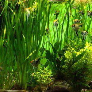 Vallisneria giganthea akváriumi növény