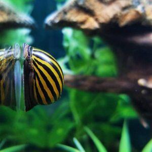 Zebra csiga algaevő csiga