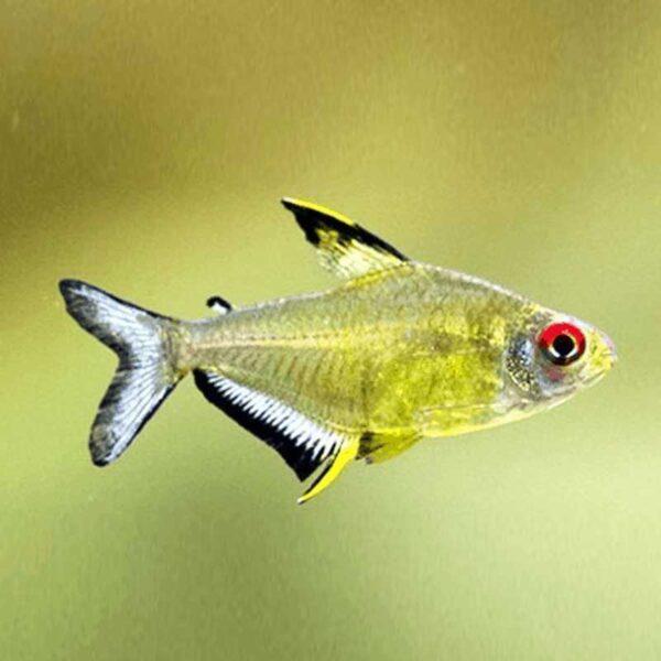 Citromlazac (Hyphessobrycon pulchripinnis) akváriumi díszhal