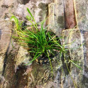Törpefű akváriumi növény Litorella uniflora
