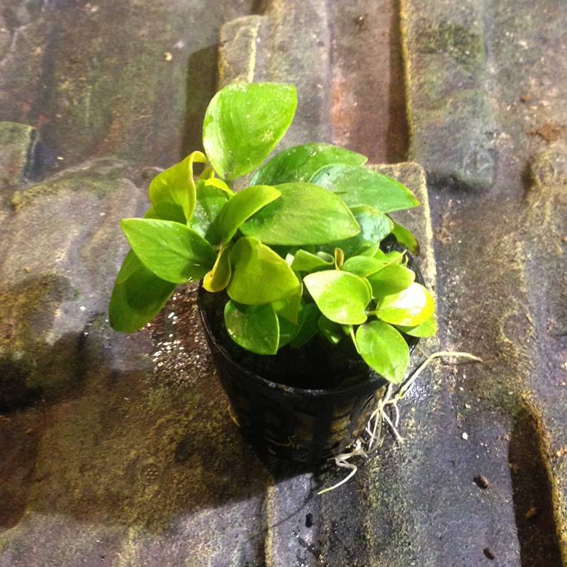 anubias nana gold akváriumi növény
