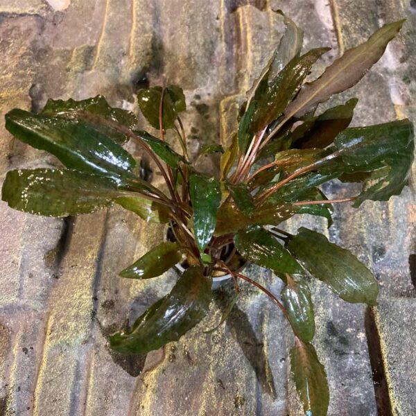 Cryptocorine wendtii brawn akváriumi növény