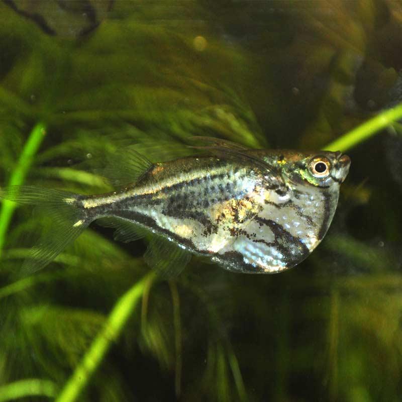 Baltahasú lazac akváriumi hal