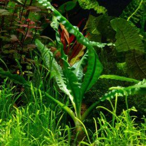 Crinum natans akváriumi vizi növény